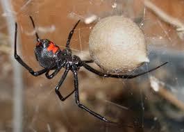arañas venenosas y no venenosas latrodectus