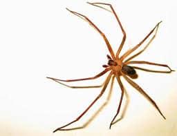 arañas venenosas y no venenosas loxosceles