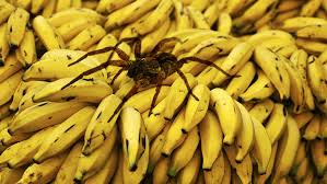 arañas venenosas y no venenosas la bananera