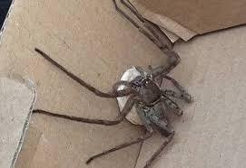 arañas venenosas y no venenosas la doméstica gigante