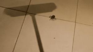 araña de rincon bebe