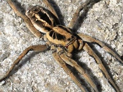 arañas venenosas en argentina