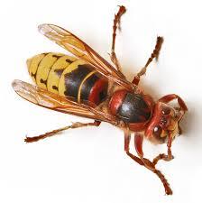avispa africana venenosa y sus caracteristicas