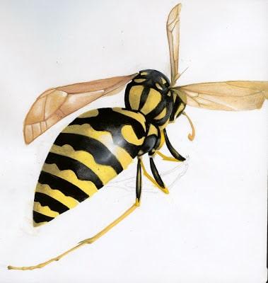 avispa chaqueta amarilla chilena