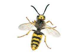 avispa chaqueta amarilla y sus caracteristicas