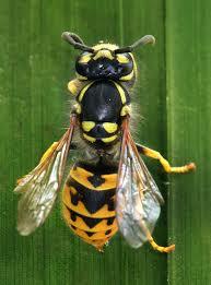 avispa chaqueta amarilla y su aspecto