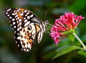caracteristicas de la mariposa 10