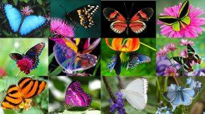 caracteristicas de la mariposa 2