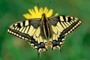 caracteristicas de la mariposa 8