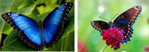 caracteristicas de la mariposa 9