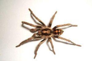 caracteristicas de la araña parda de españa-7