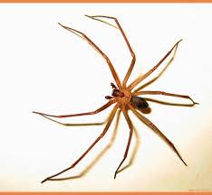 caracteristicas de la araña violinista