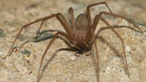caracteristicas de la araña parda de españa
