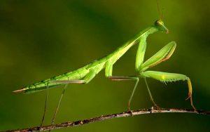 caracteristicas de la mantis religiosa 1