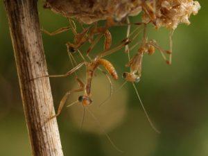 caracteristicas de la mantis religiosa 10