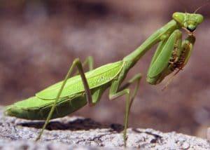 caracteristicas de la mantis religiosa 2
