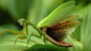 caracteristicas de la mantis religiosa 4