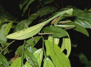 caracteristicas de la mantis religiosa 5