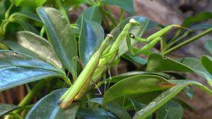 caracteristicas de la mantis religiosa 7