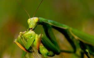 caracteristicas de la mantis religiosa 8