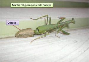 caracteristicas de la mantis religiosa 9