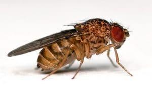 caracteristicas de la mosca de la fruta 1