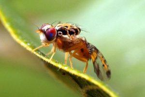 caracteristicas de la mosca de la fruta 2