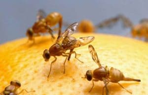 caracteristicas de la mosca de la fruta 3