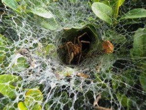 caracteristicas de la tela de araña 4