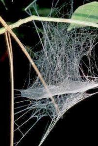 caracteristicas de la tela de araña 7