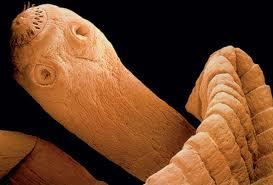 caracteristicas de los gusanos planos