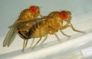 ciclo de vida de la mosca de la fruta