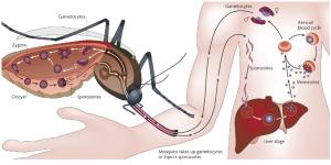 La enfermedad de chagas causada por el parasito protozoo Trypanosoma cruzi
