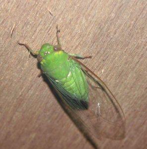 La cigarra es un insecto de un tamaño grande de unos cuatro centímetros de largo