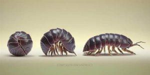 La cochinilla es un insecto