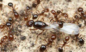 como-conseguir-hormiga-reina-3