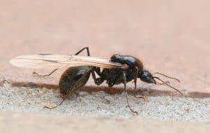 como-conseguir-hormiga-reina-7
