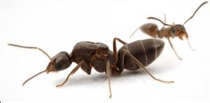 Como conseguir hormiga reina