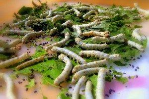 como-criar-gusanos-de-seda-4