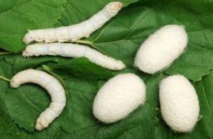 como-criar-gusanos-de-seda-5