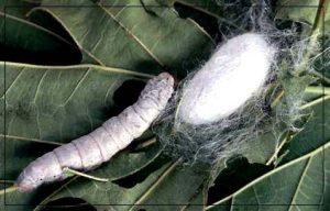 como-criar-gusanos-de-seda-8