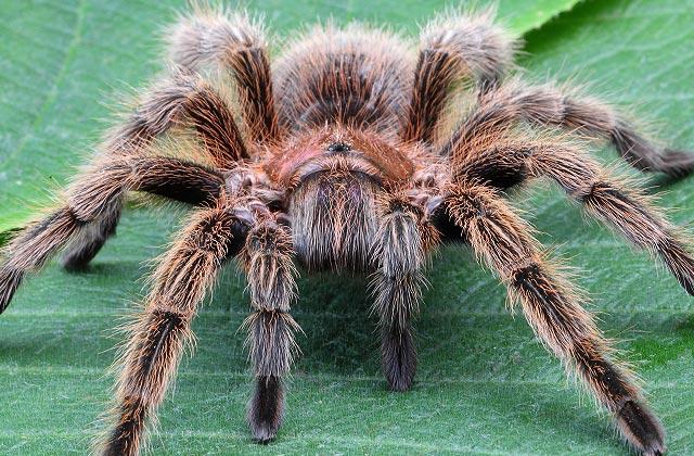 cuales son las arañas tarantulas mas venenosas