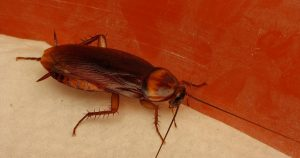 La planta crotalaria se utiliza para ahuyentar las cucarachas
