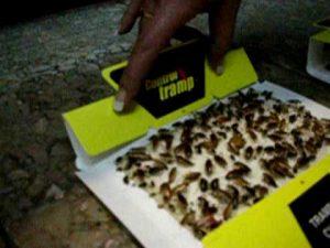 eliminar cucarachas con trampas pegajosas