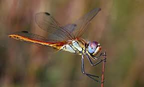 A este grupo pertenecen las libélulas o matapiojos, estos poseen ojos abultados