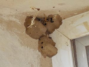 nido de la avispa alfarera 6