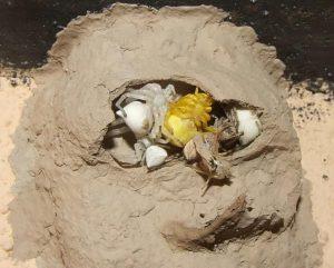 nido de la avispa alfarera 7