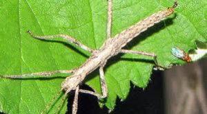 palote, Bacunculus phyllopus, el cual es un inofensivo insecto