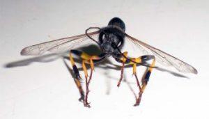 peligros de la avispa alfarera