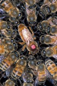 por que vive la abeja africana en mexico-2
